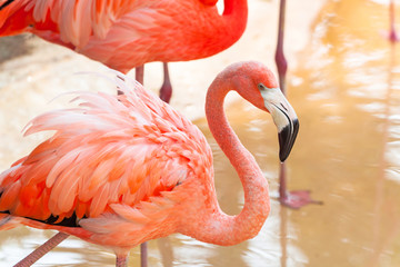 Pink flamingos in wildlife, Mexico