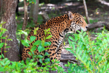 Jaguar in wildlife at the jungle of Jucatan, Mexico