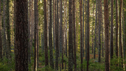 Beautiful pine forest at sunset. Long tree trunks and small conifer plants on the ground.