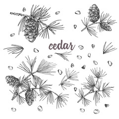 Set ink sketch of cedar branches with pinecones isolated on white background