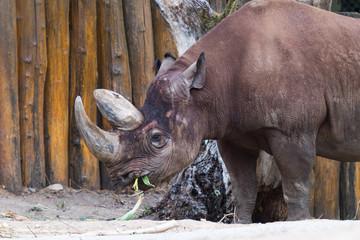 Nashorn beim Fressen mit Blick nach links