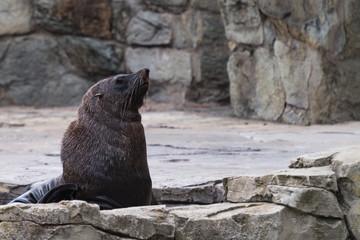 Seehund mit Blick nach rechts