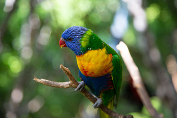Rainbow Lorikeet, a species of parrot from Australia. Trichoglossus moluccanus. Close up macro, side view