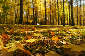 Autumn landscape. Warm autumn day in a bright color park. Orange foliage and trees in the forest.