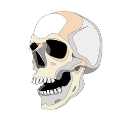 human skull vector illustration lining draw  profile
