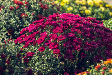 Autumn hrysanthemums, morning burgeoning flowers, color explosion.