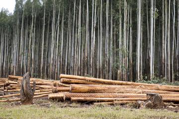 Forestry. Eucalyptus trees