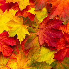 Beautiful Nature autumn Background with colored maple leaves