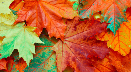 Beautiful Nature autumn fallen maple leaves Background