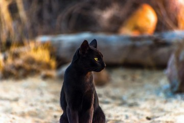 Black cat on beach in sunset.