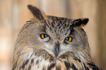 large eagle-owl closeup on brown