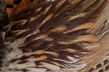 Pheasant feathers a a wooden background. Hunting season.