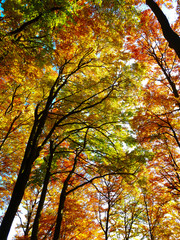 Colorful treetops in the beautiful autumn forest