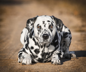 Black and white dalmatian dog laying in the autumn park