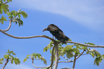 Roatan Wildlife, Vulture, Geier, Cathartes Aura