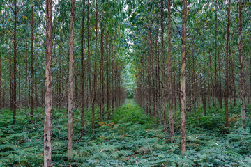 Plantación de eucaliptos. Eucalyptus.