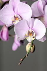 Pink Phalaenopsis orchid flower, close up on gray background. Vertical cpmposition