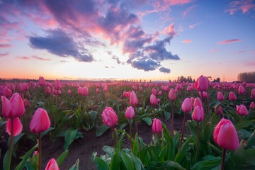 Pink fields of tulips with a colorful sunset