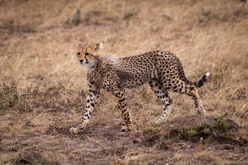 Cheetah cub walking in grassland stares ahead