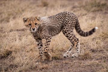 Cheetah cub walking in grassland turns head