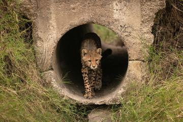 Cheetah cub walking through pipe towards grass