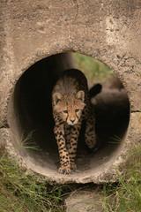 Cheetah cub walks through pipe towards grass