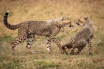 Cheetah cub walks towards another sitting down