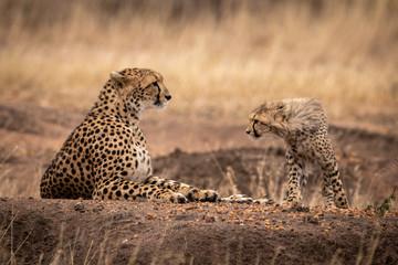 Cheetah cub walks towards mother lying down