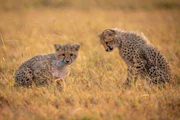 Cheetah cub watches another chew plastic bag