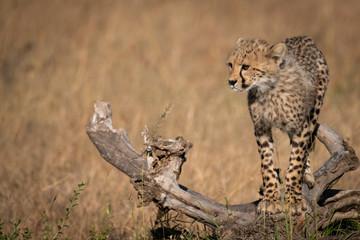 Cheetah cubs balancing on log looks left