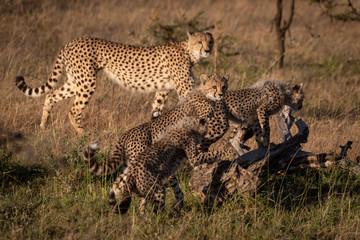 Cheetah cubs climb dead log near mother
