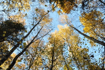 Foto op Canvas Aan het plafond Russian autumn forest. bottom view of the clouds
