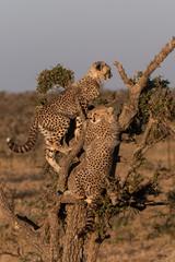 Cheetah cubs climbing dead tree on savannah