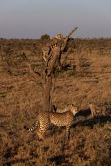 Cheetah cubs climbing tree with family below