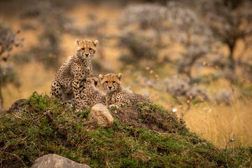 Cheetah cubs on rocky mound in trees