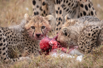 Cheetah cubs with bloody mouths beside kill