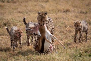 Cheetah drags Thomson gazelle with three cubs