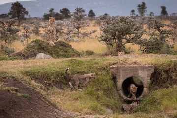 Cheetah guards cubs playing in concrete pipe