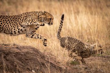 Cheetah jumps down earth bank after cub