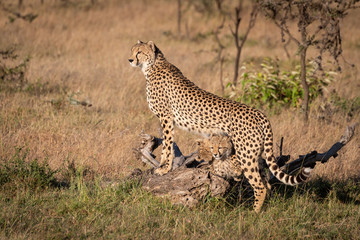 Cheetah leaning on log with cubs underneath