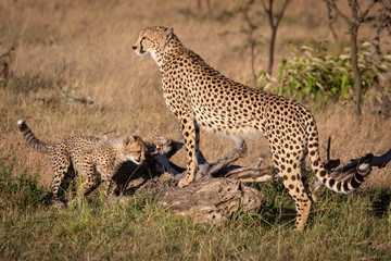 Cheetah leaning on dead log with cub