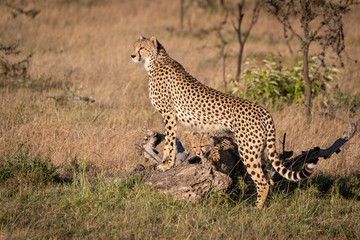 Cheetah leans on log with cubs underneath