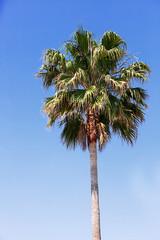 Tall Palm tree against Blue Sky