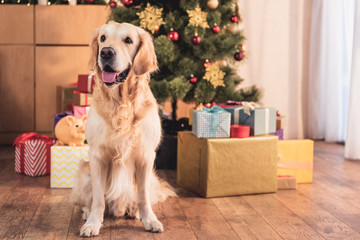 funny golden retriever dog sitting near christmas tree with gift boxes