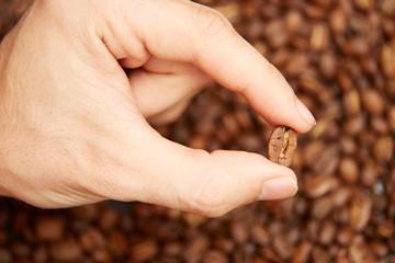 Barista checks coffee beans