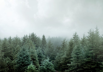 Printed roller blinds Khaki Wild Pine Forest In Low Clouds And Fog