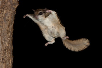 Southern Flying Squirrel in flight taken in Minnesota under controlled conditions