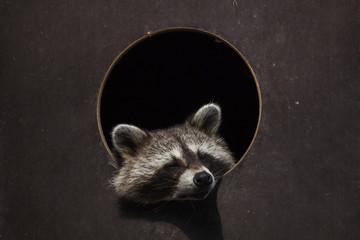 North American raccoon (Procyon lotor)