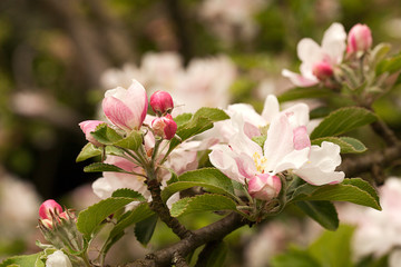 Apple Blossom close up