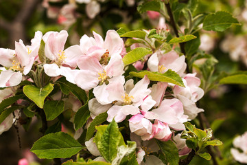 Lots of apple blossom fully open